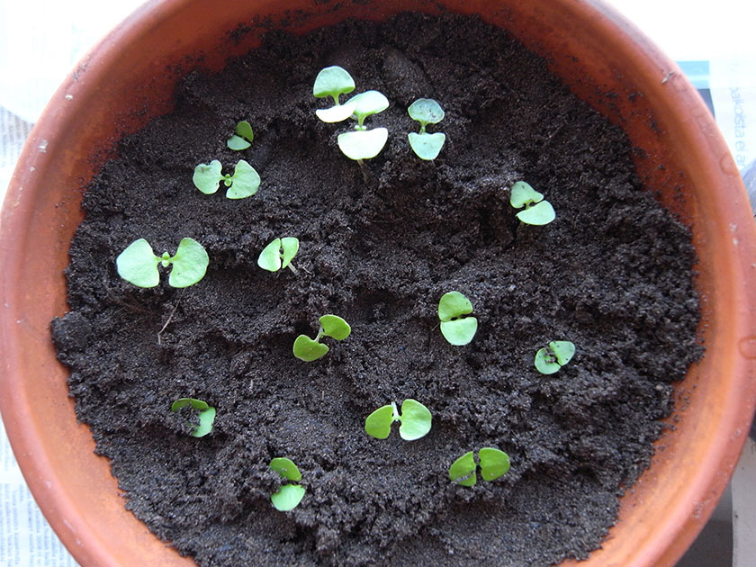 Basil babies potted