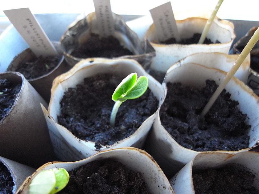cucurbita_seedling