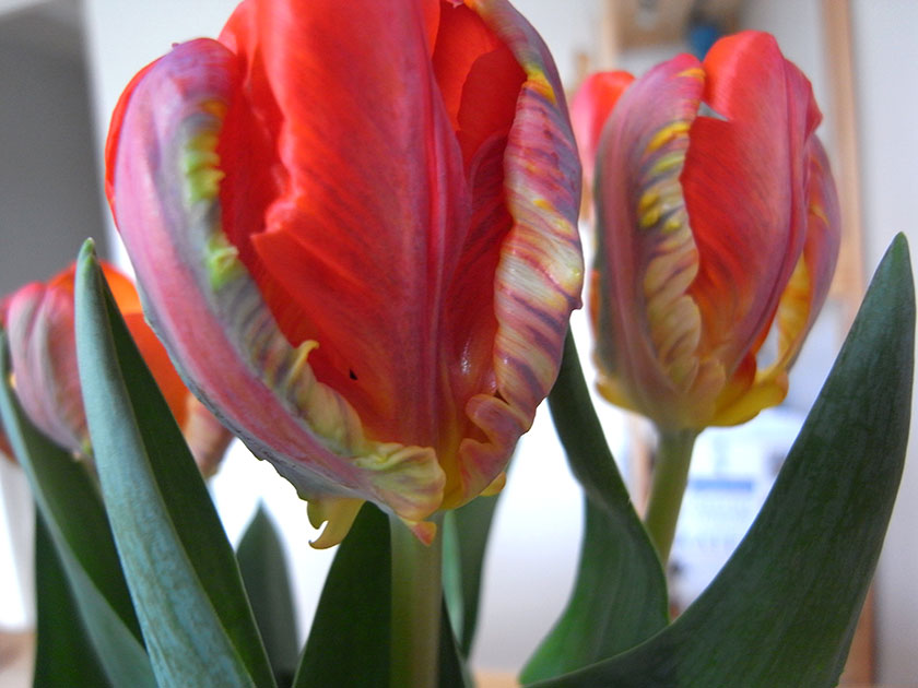 parrot_tulips2