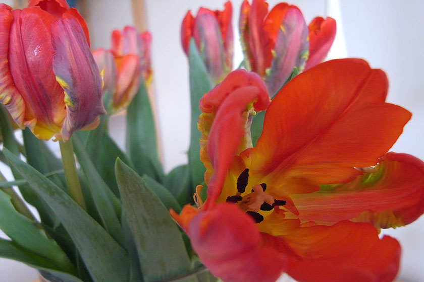 parrot_tulips3