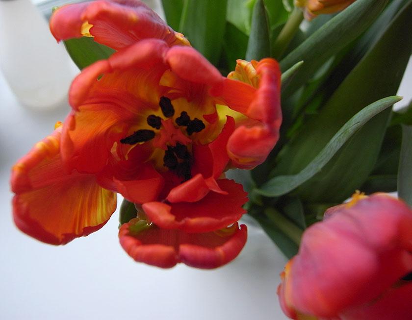 parrot_tulips4