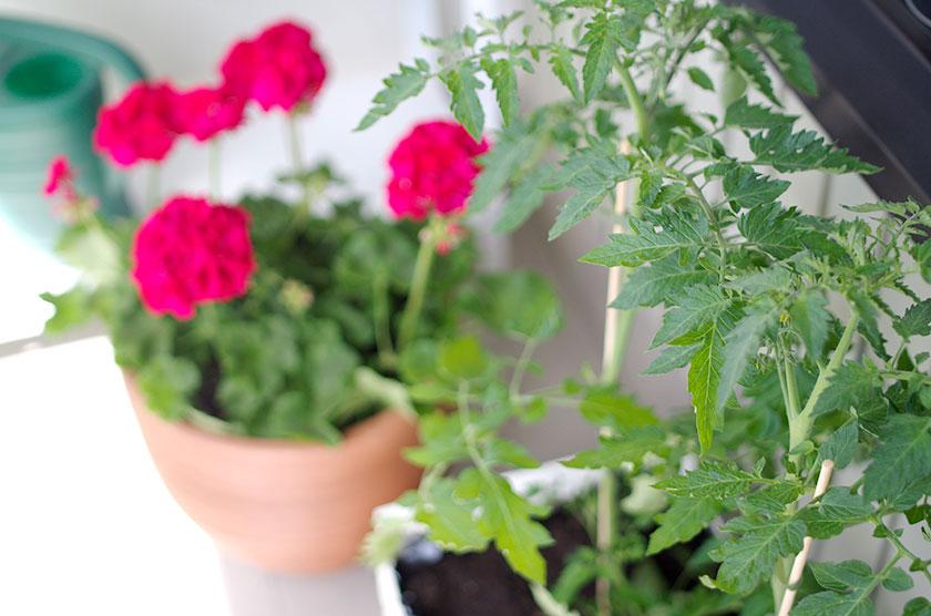 tomato_pelargonium