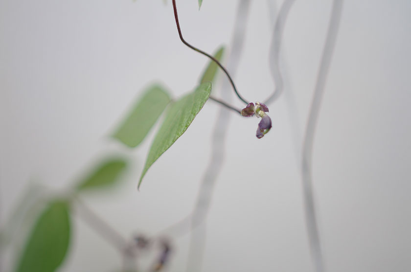 haricot_bean_flower