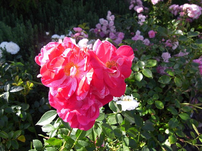 garden_shop_roses