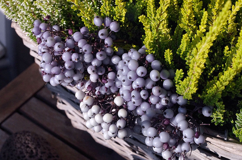 cornus_berries2
