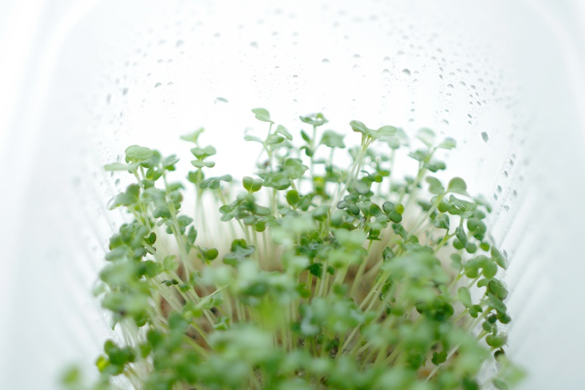 salad_seedlings_2