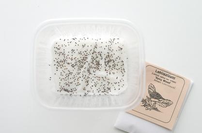 Lettuce seeds /// Lehtisalaatin siemeniä