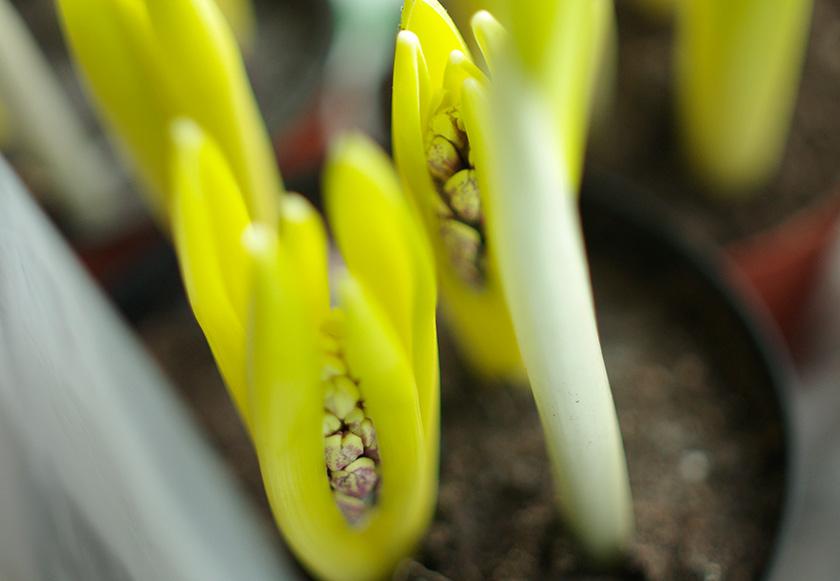 spring_bulbs1