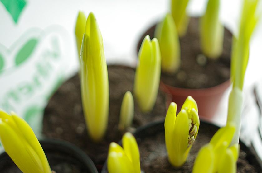 spring_bulbs2