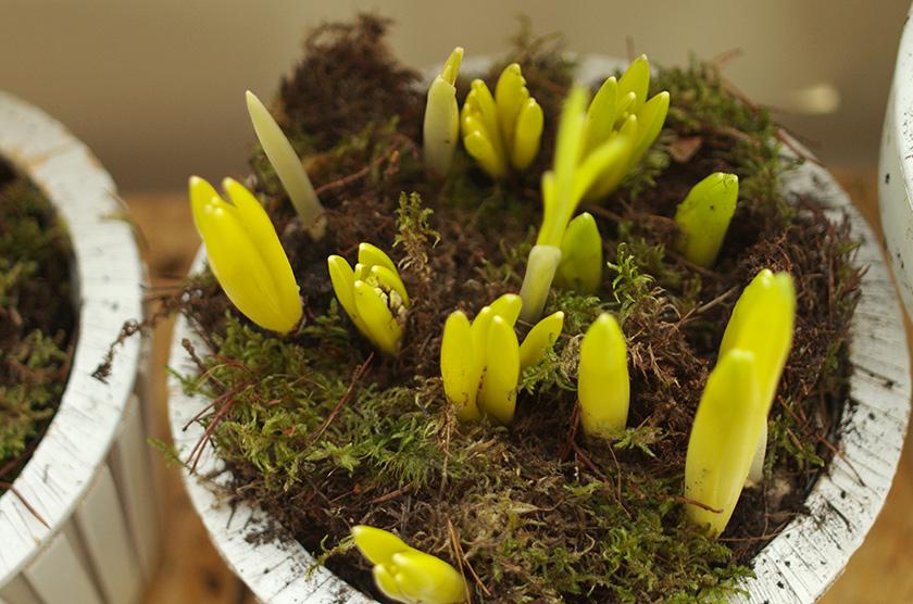 spring_bulbs4
