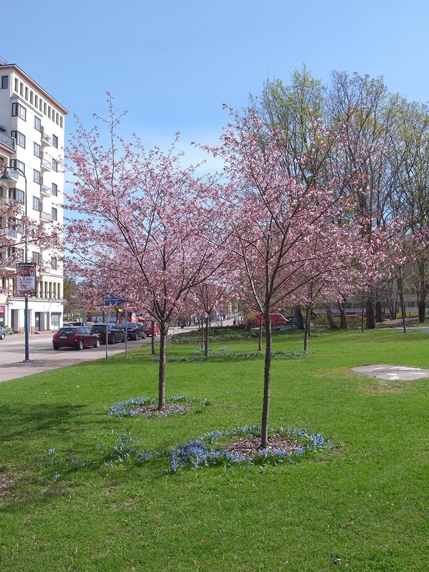 park_cherries