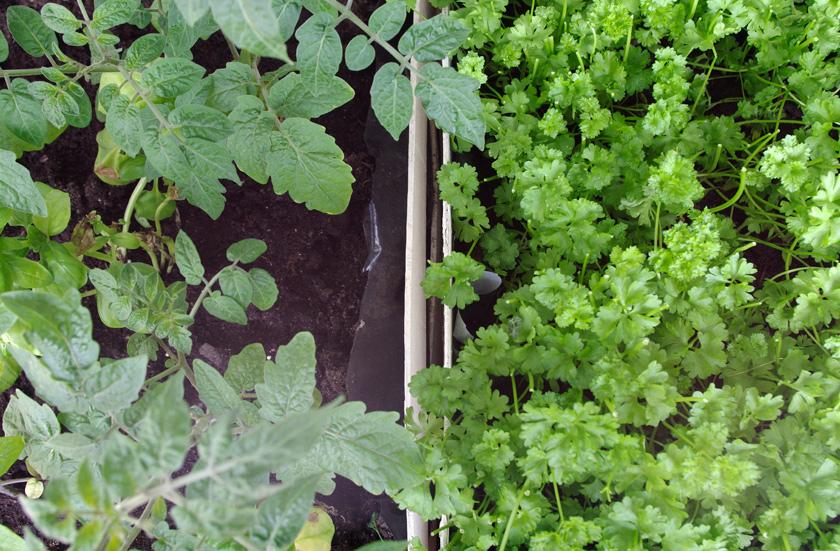 tomato_parsley
