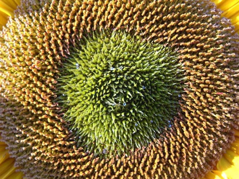 sunflower_detail