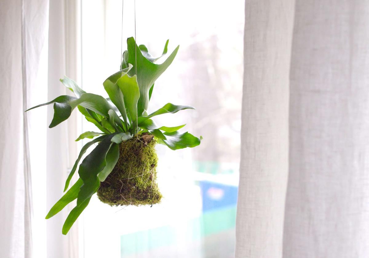 DIY: Hanging staghorn fern
