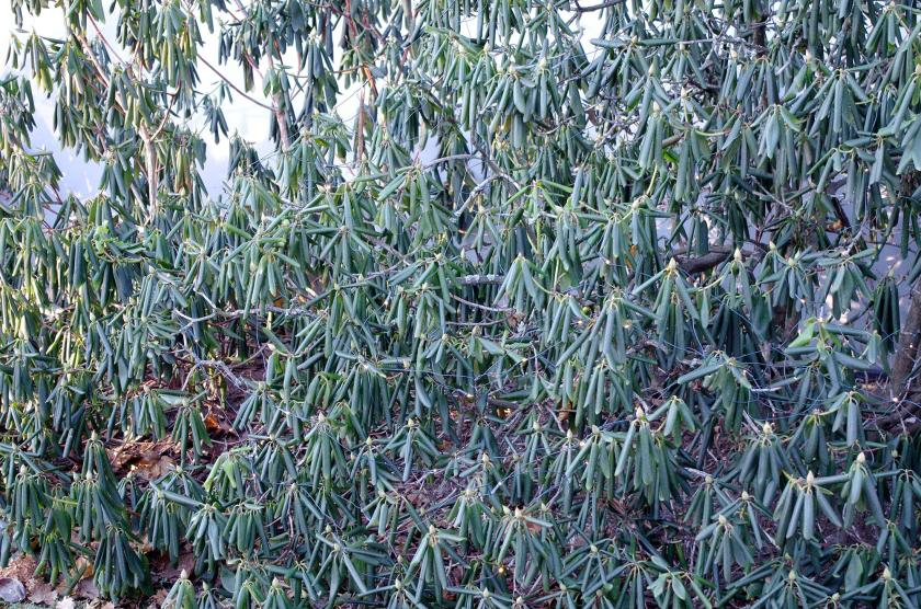 winter_rhododendron
