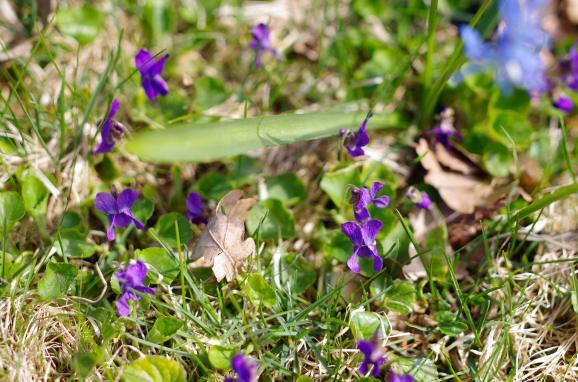 wild_violets