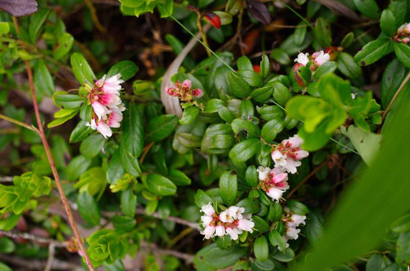 flowering_lingonberry