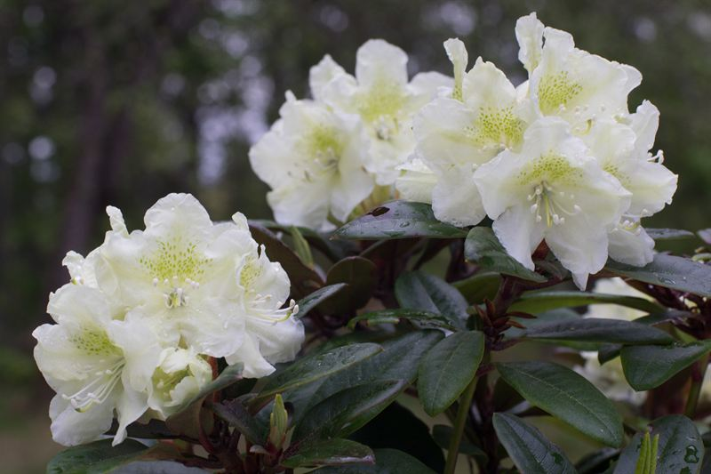 suomi100_rhododendron1