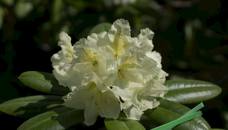 suomi100_rhododendron2