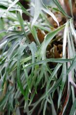staghorn_fern